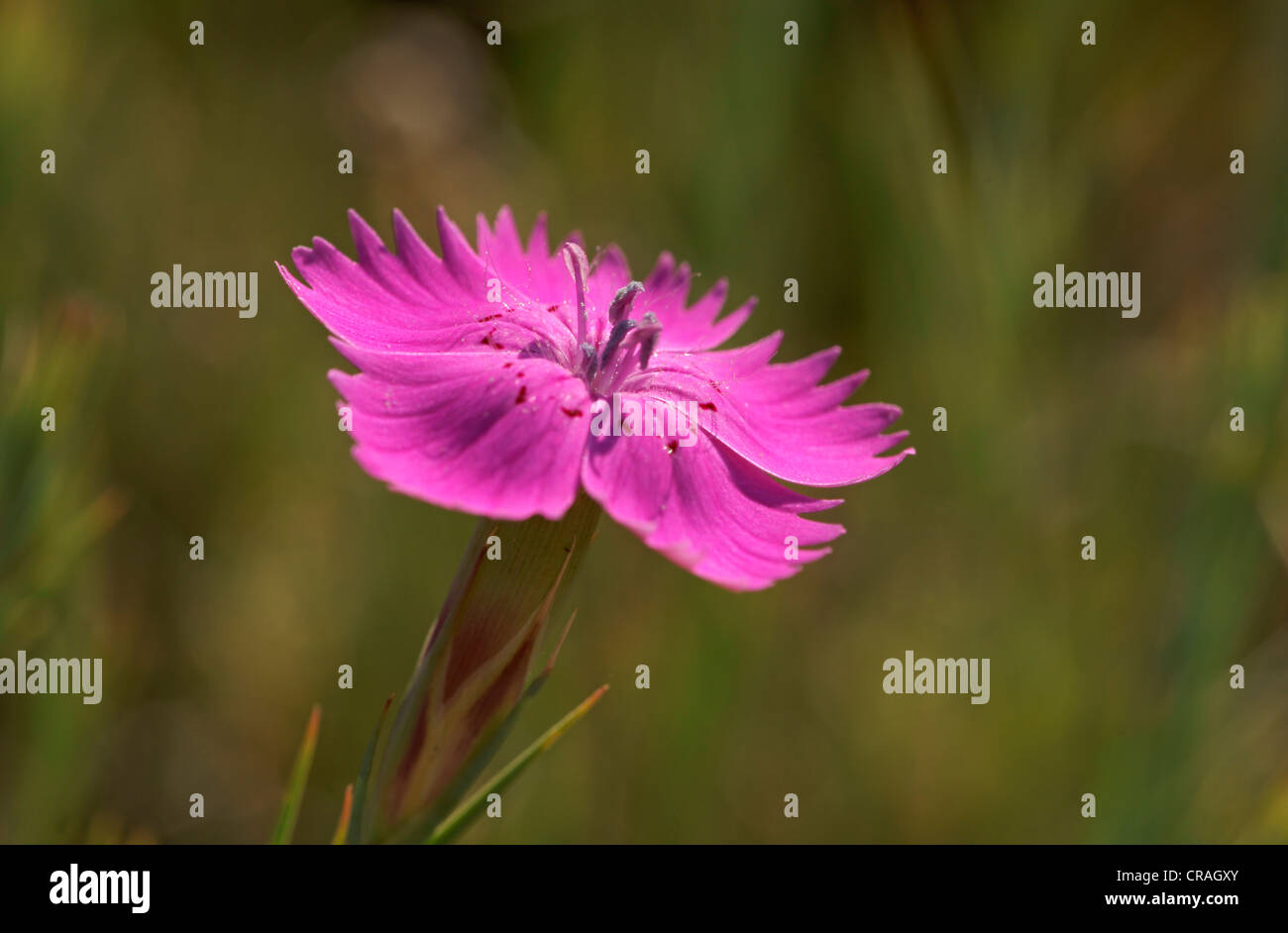 Carnation (Dianthus), Bulgaria, Europe - Stock Image