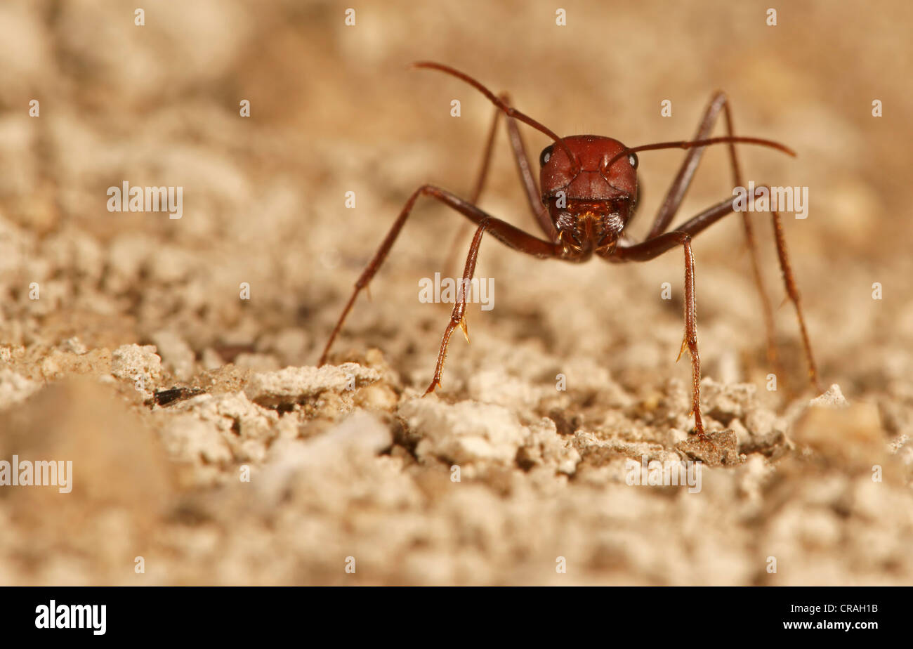 Ant of the genus Cataglyphis in the subfamily Formicinae northern Bulgaria Bulgaria Europe Stock Photo
