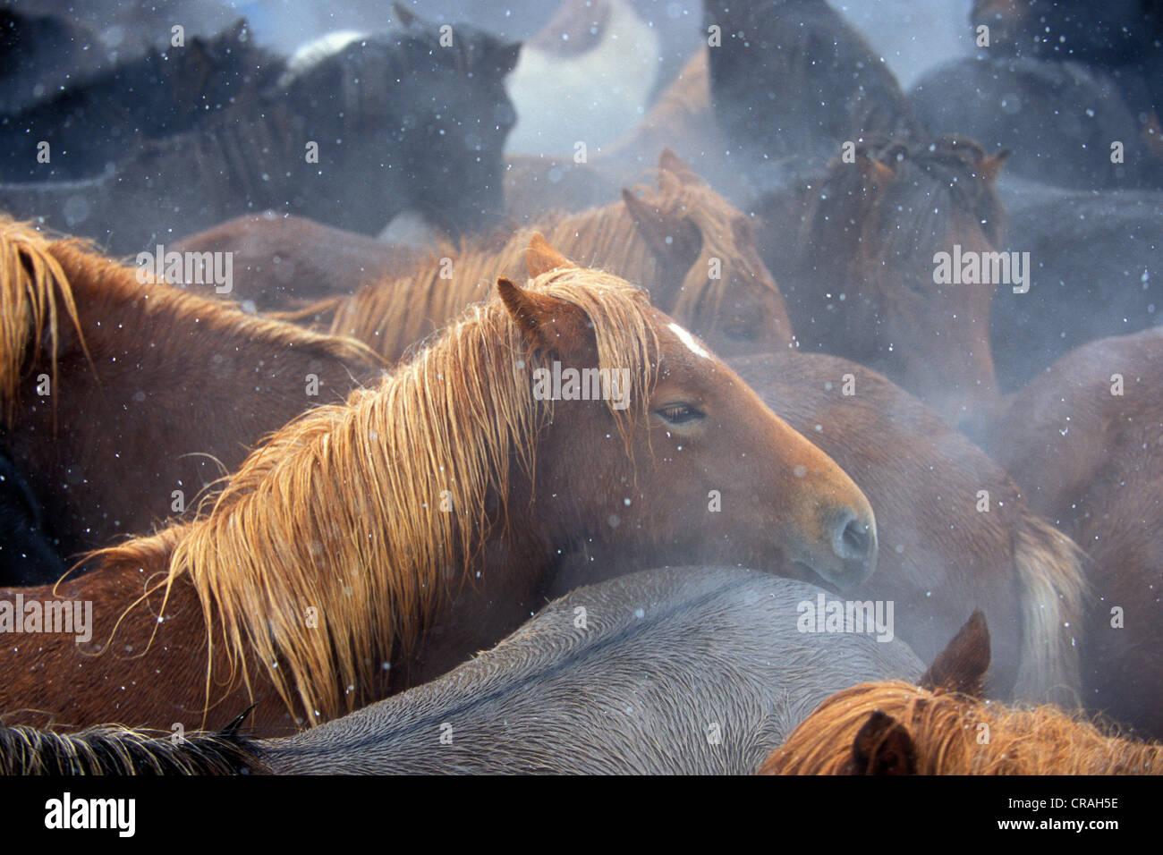 Iceland horses, biggest horse drive of Iceland, Laufskálarétt, Hjaltadalur, Skagafjoerður or Skagafjoerdur, - Stock Image