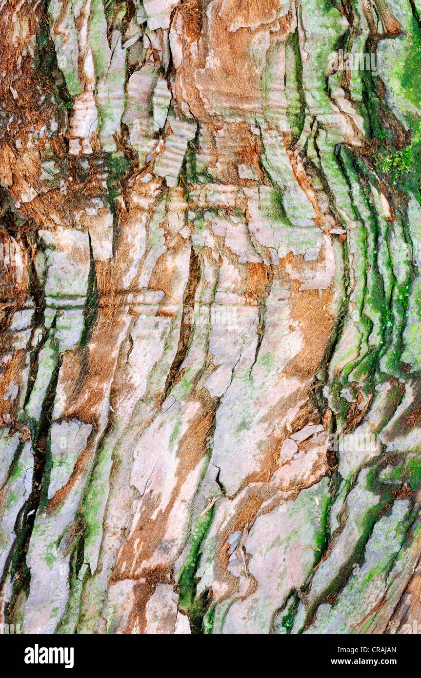 Bark of an old Sequoia (Sequoioideae), Germany, Europe - Stock Image