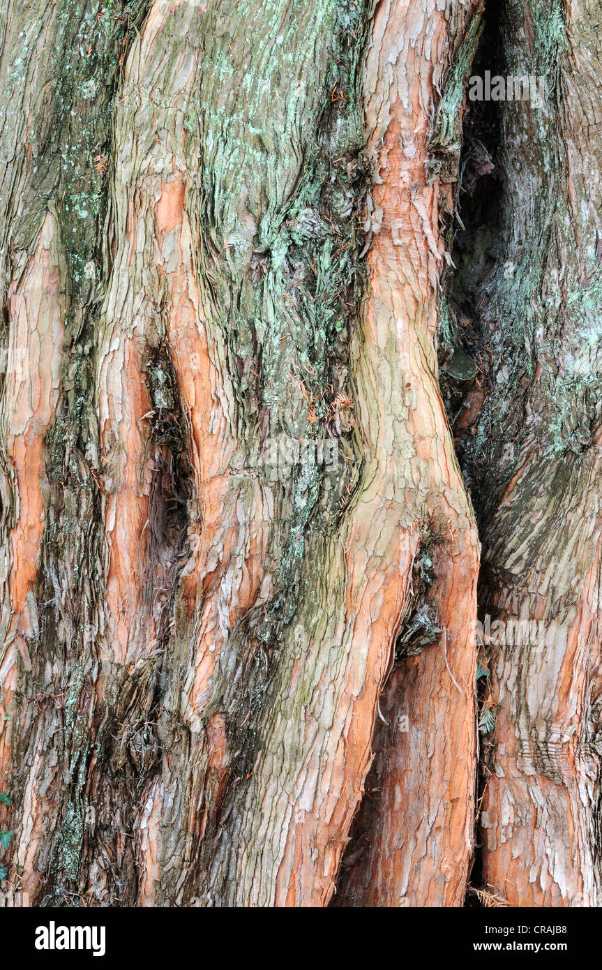 Bark of a Dawn Redwood (Metasequoia glyptostroboides) - Stock Image