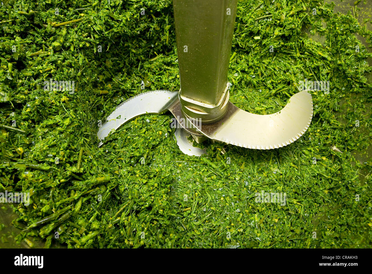 European Mistletoe or Common Mistletoe (Viscum album) being chopped in a blender at a natural remedy company - Stock Image