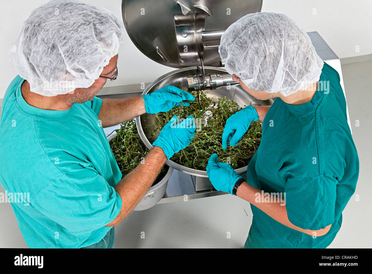 Eyebright (Euphrasia) being processed in a blender at a natural remedy company - Stock Image