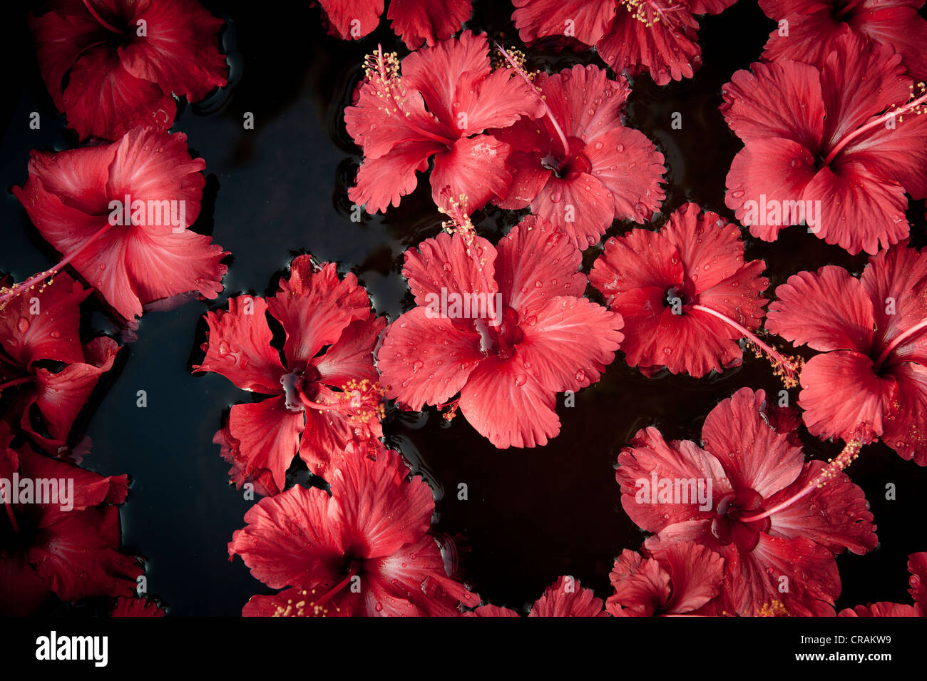 Indian hibiscus flowers stock photos indian hibiscus flowers stock hibiscus hibiscus flowers floating on water decorations purity hotel malabar escapes izmirmasajfo