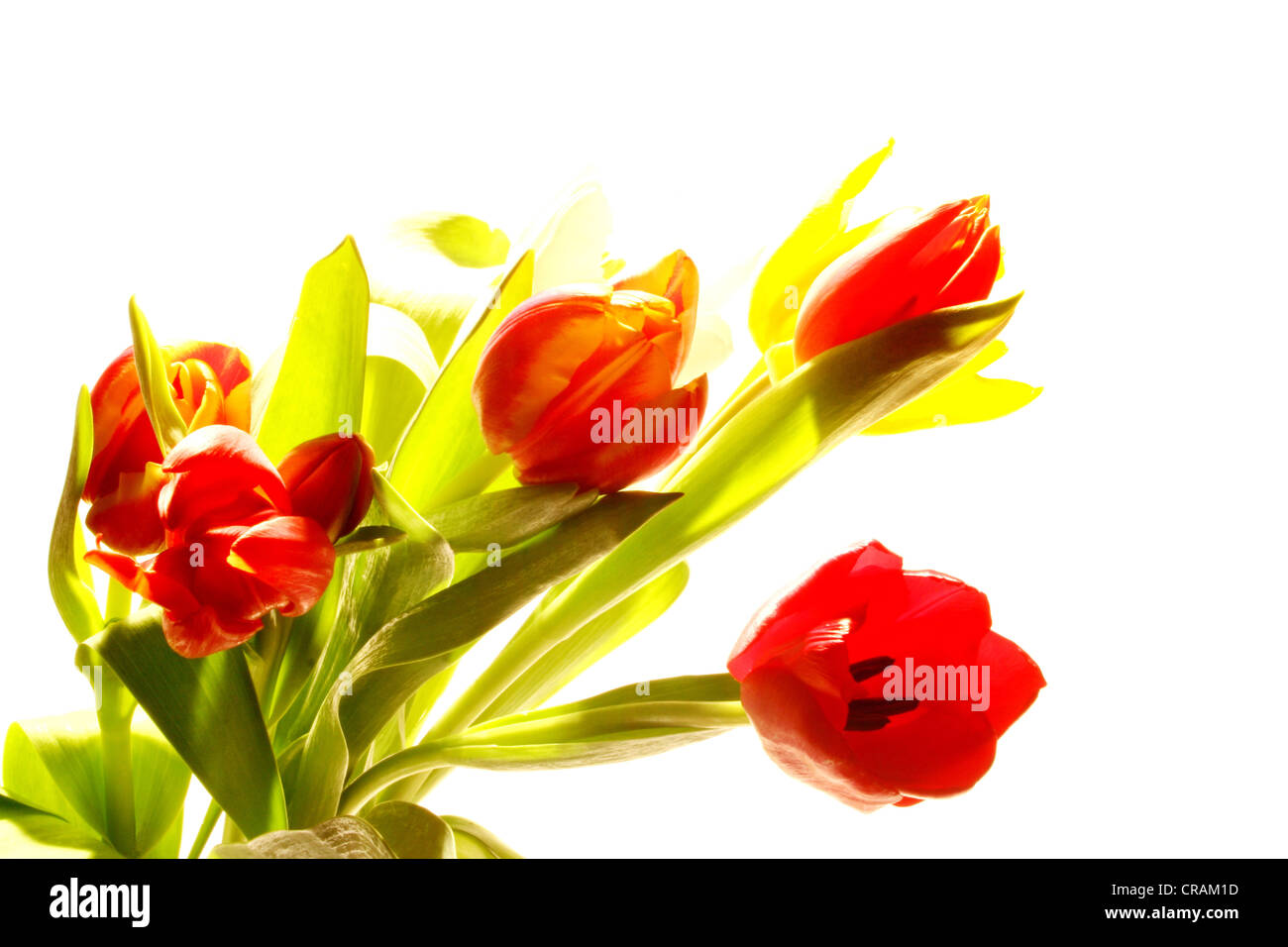 Tulips on a white background - Stock Image
