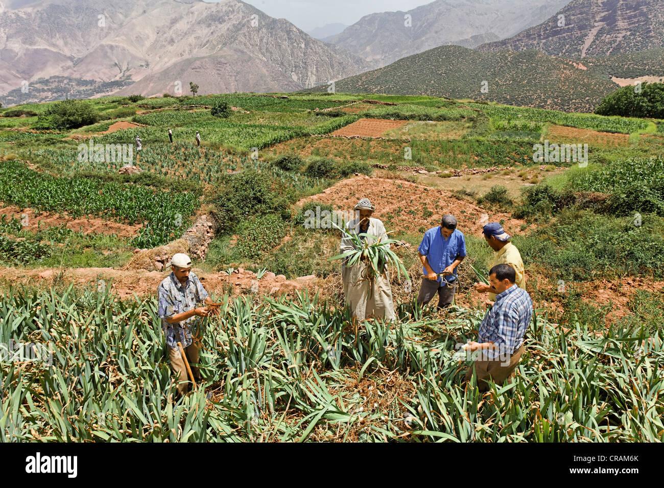 Group of men from Iwasoudane village harvesting the rhizomes of organically grown German Irises (Iris germanica) - Stock Image