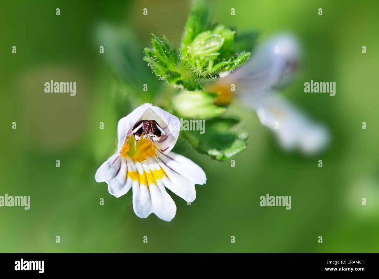 Blossom of the medical plant Eyebright (Euphrasia). - Stock Image