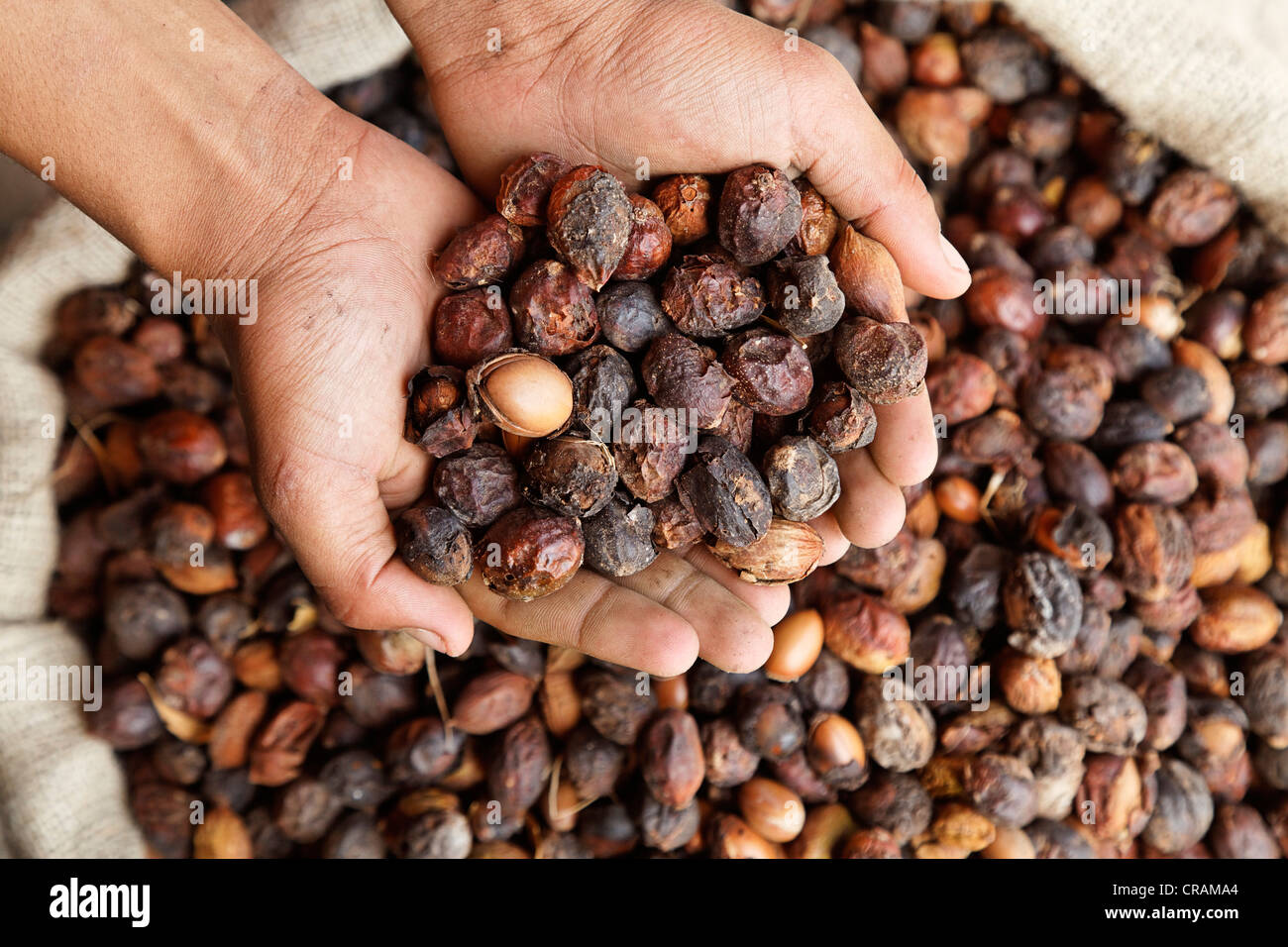 An argan oil producer controlling with his hands the delivered Argan (Argania spinosa) nuts, near Essaouira, Morocco, - Stock Image