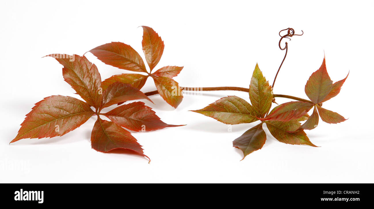 Twig of a climbing plant - Stock Image