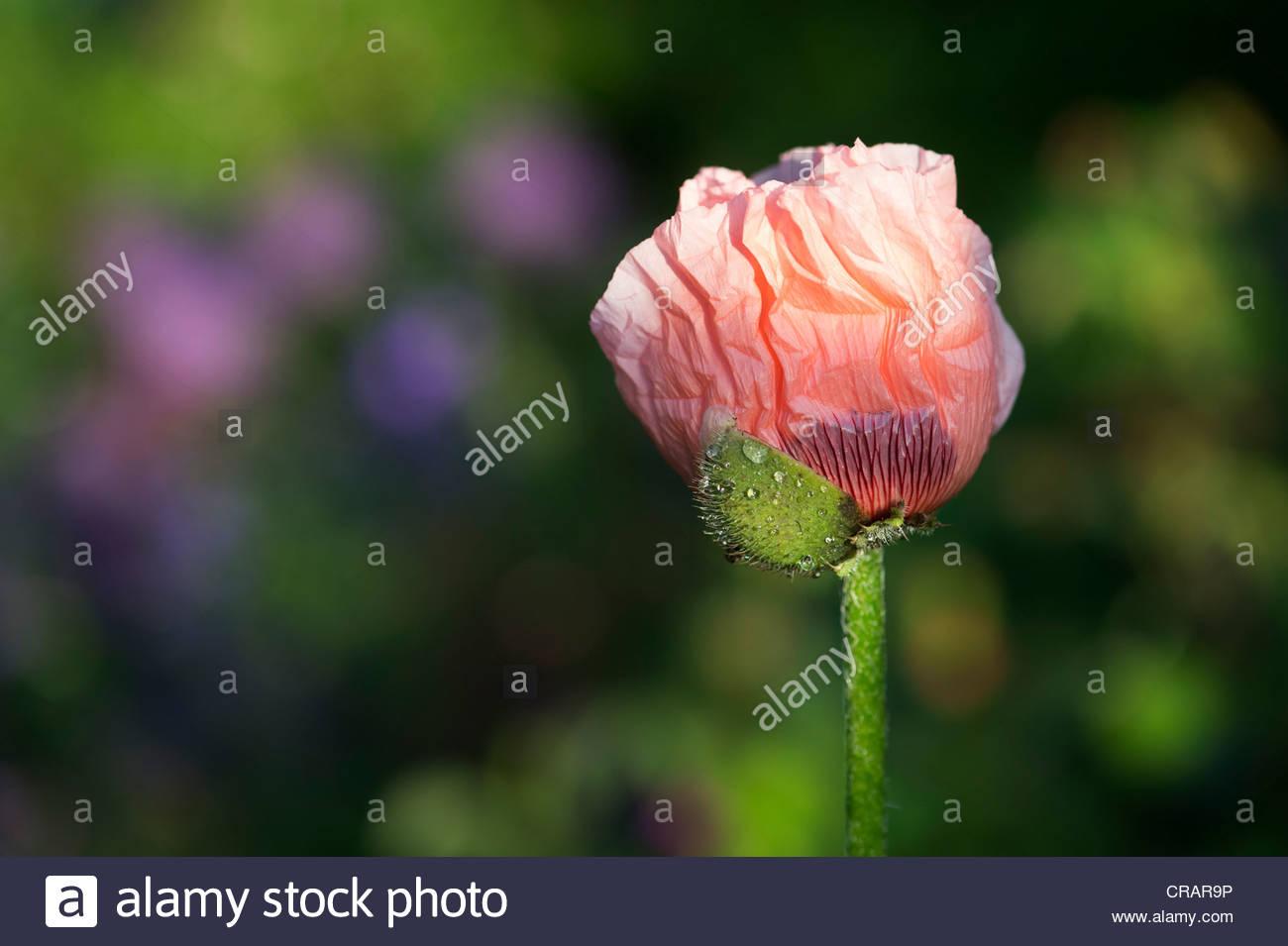 Oriental Poppy Flower Bud Stock Photos Oriental Poppy Flower Bud