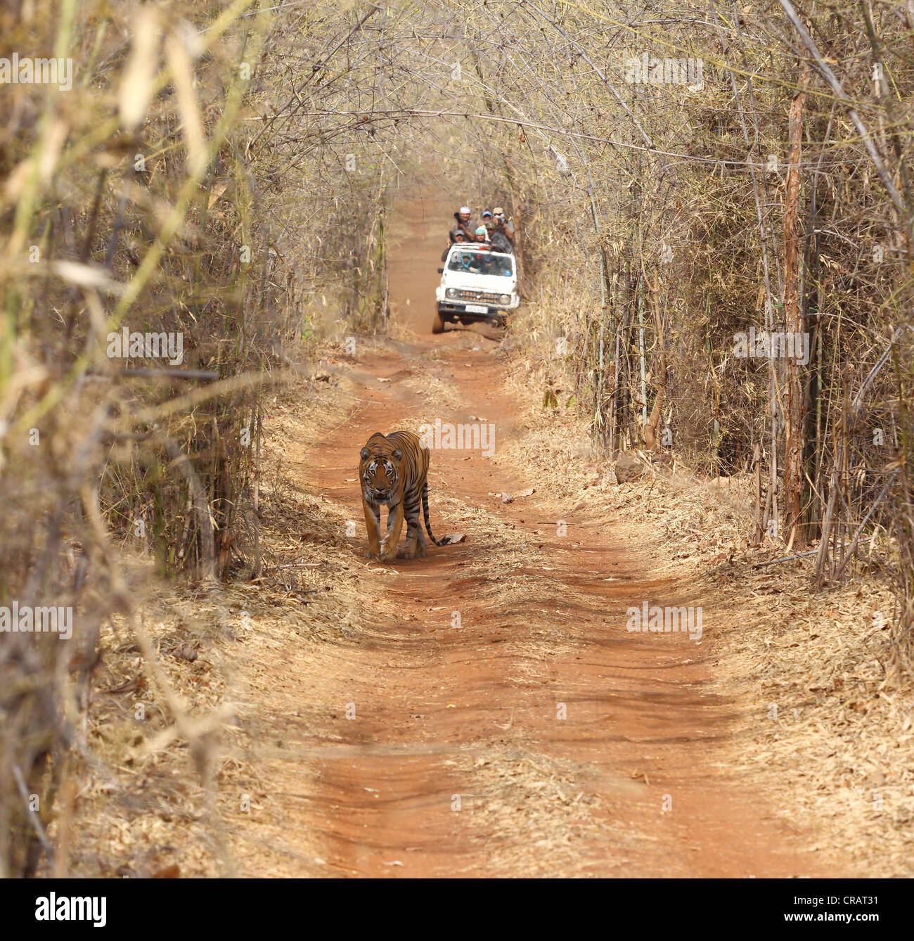 Tiger walking on a path in front of a safari jeep in the bamboo jungles of Tadoba, India - Stock Image
