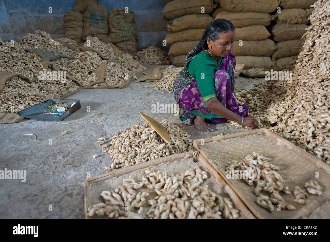 Women working in a spice storehouse, ginger and bags of ginger, Jew Town, Kochi, Kerala, southern India, India, - Stock Image