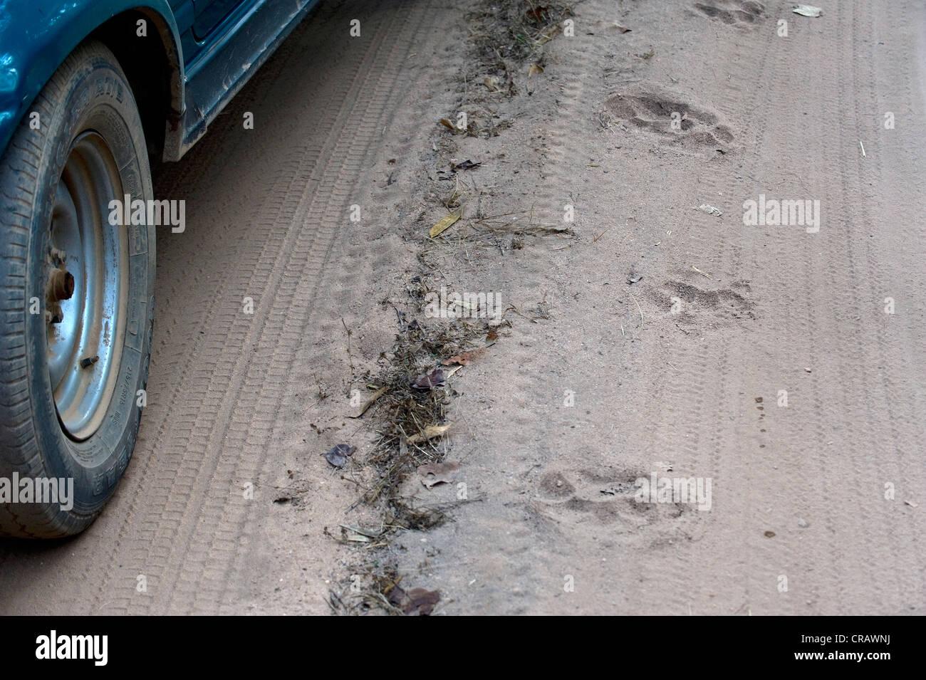 Tiger tracks next to a jeep, Bandhavgarh National Park, Madhya Pradesh, India, Asia - Stock Image