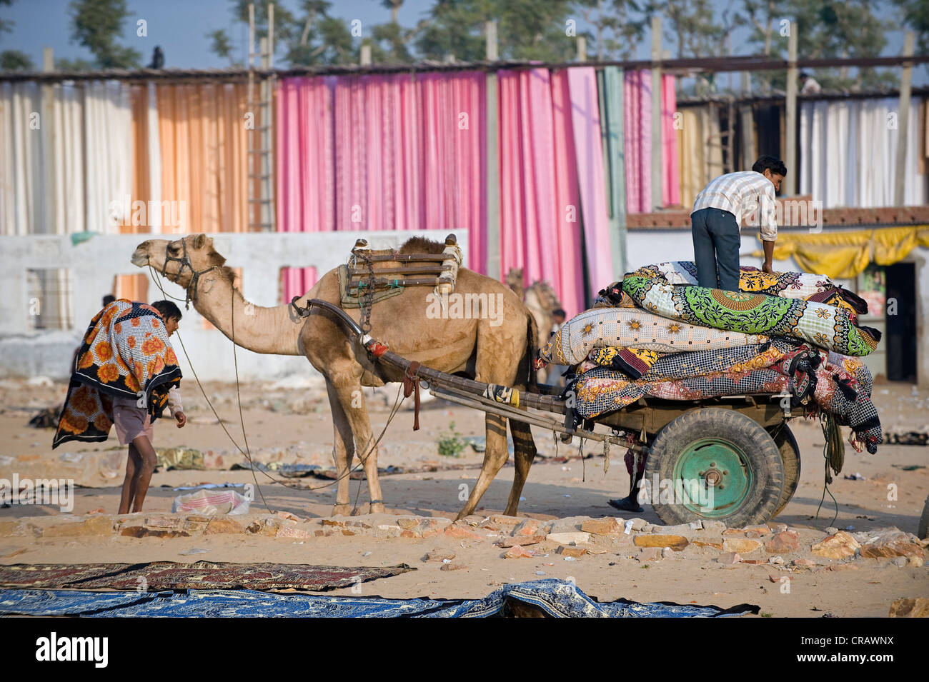 Camel pulling a two wheeled cart in front of dyed fabric, Sanganer dyeing centre near Jaipur, Rajasthan, India, - Stock Image