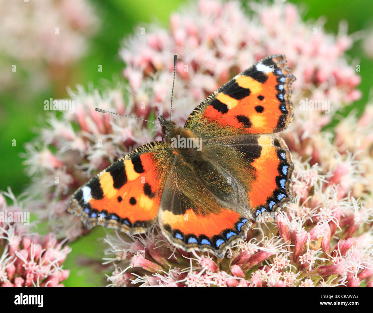 Small Tortoiseshell Butterfly, Wyre Forest, Worcestershire; England; Europe - Stock Image