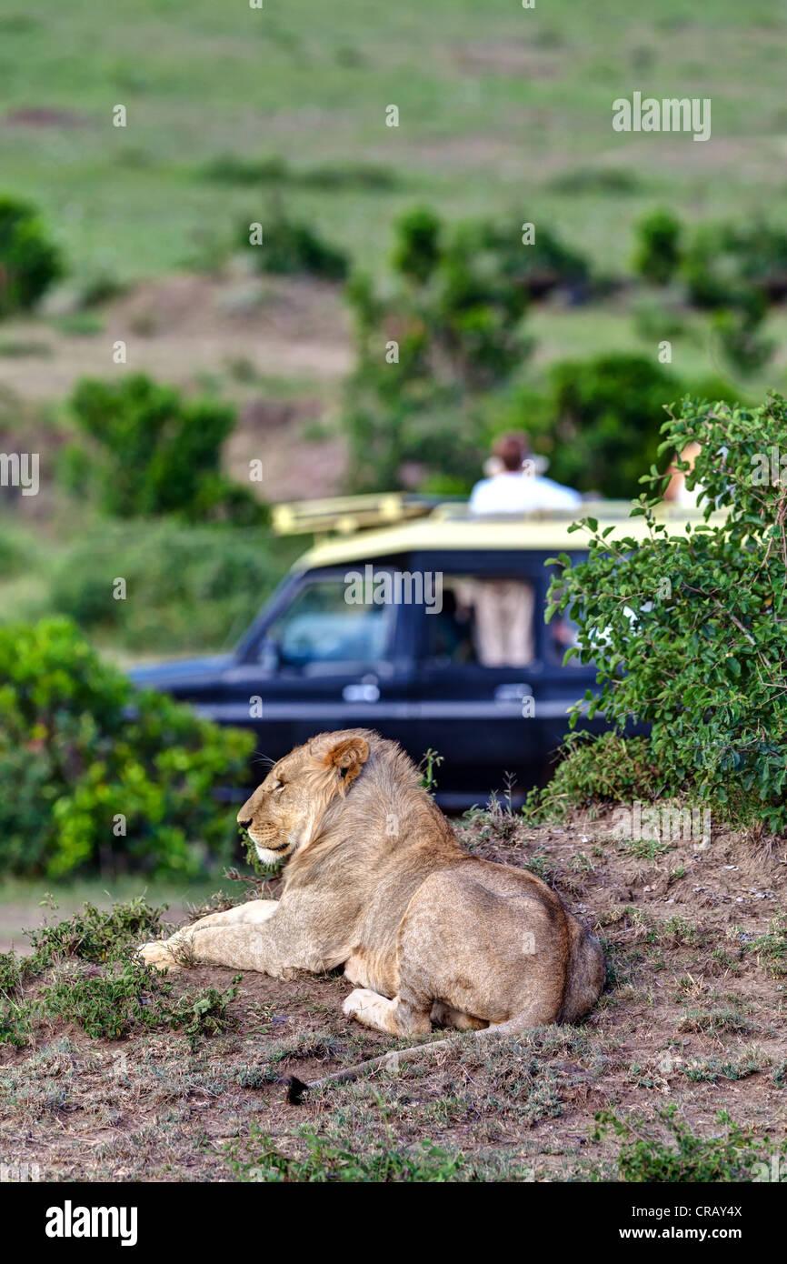 Lion (Panthera leo) resting in front of a safari vehicle, Masai Mara National Reserve, Kenya, East Africa, Africa, - Stock Image