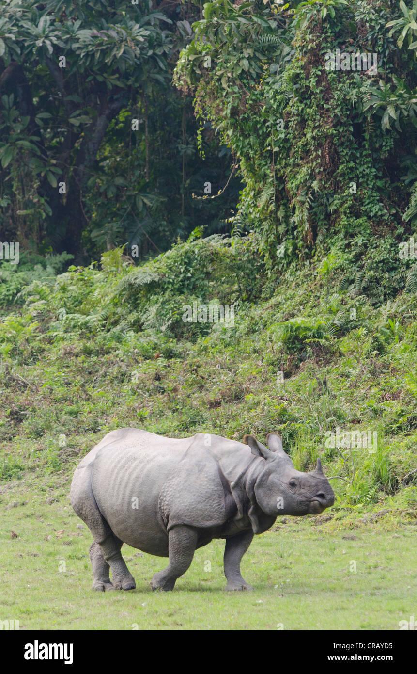 Rhinoceros (Rhinocerotidae), Kaziranga National Park, Assam, northeast India, India, Asia - Stock Image
