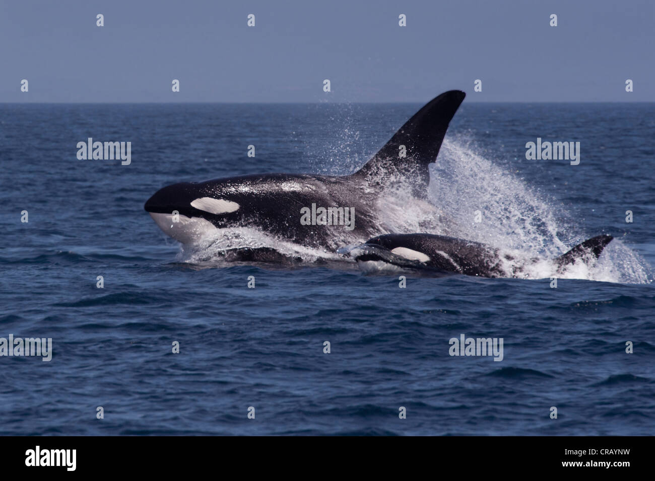 This is Can Opener (CA60) & his mother. One of two huge males that are arguably the largest in whole of the - Stock Image