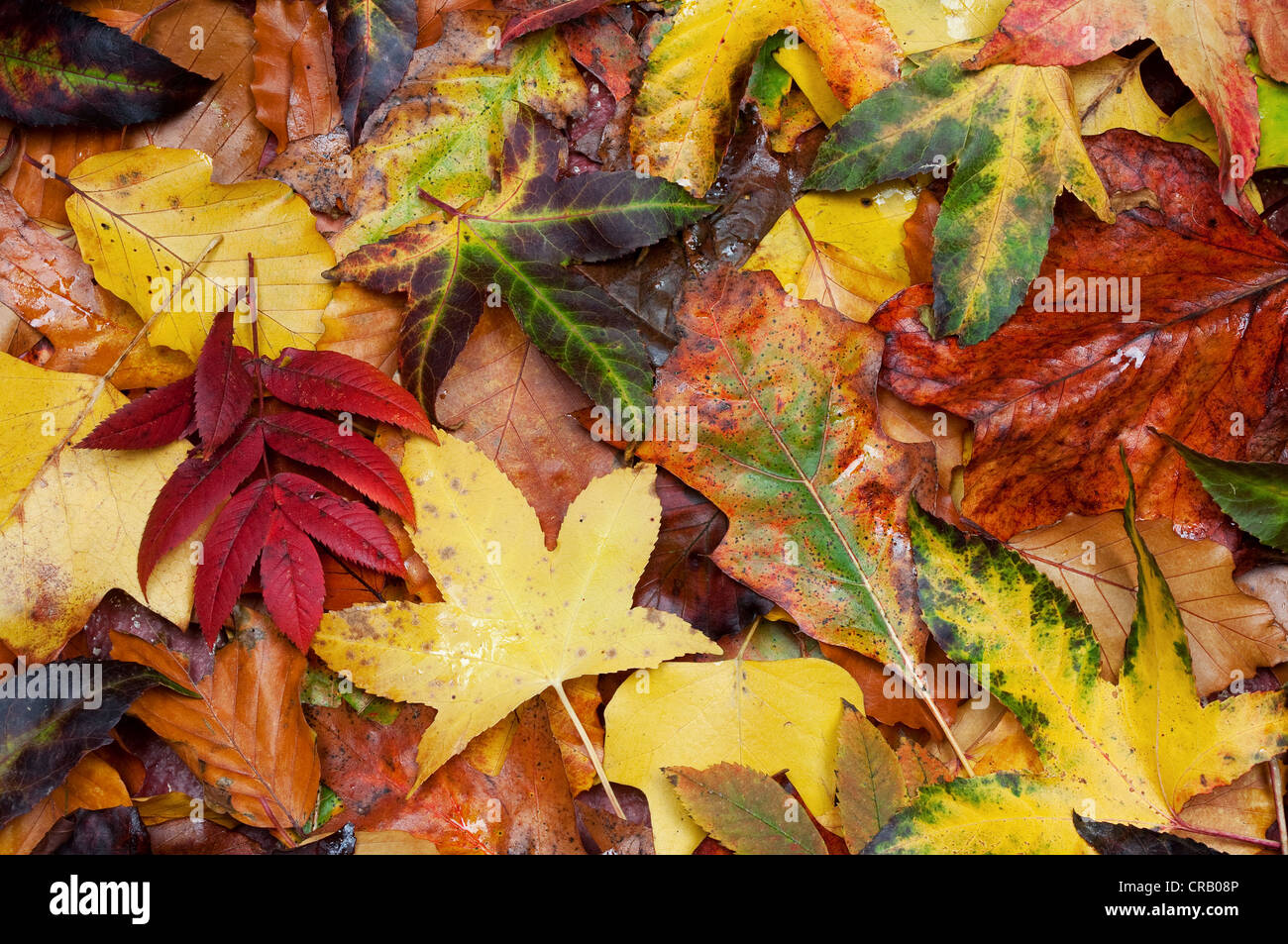 An abstract of autumn leaves - Stock Image