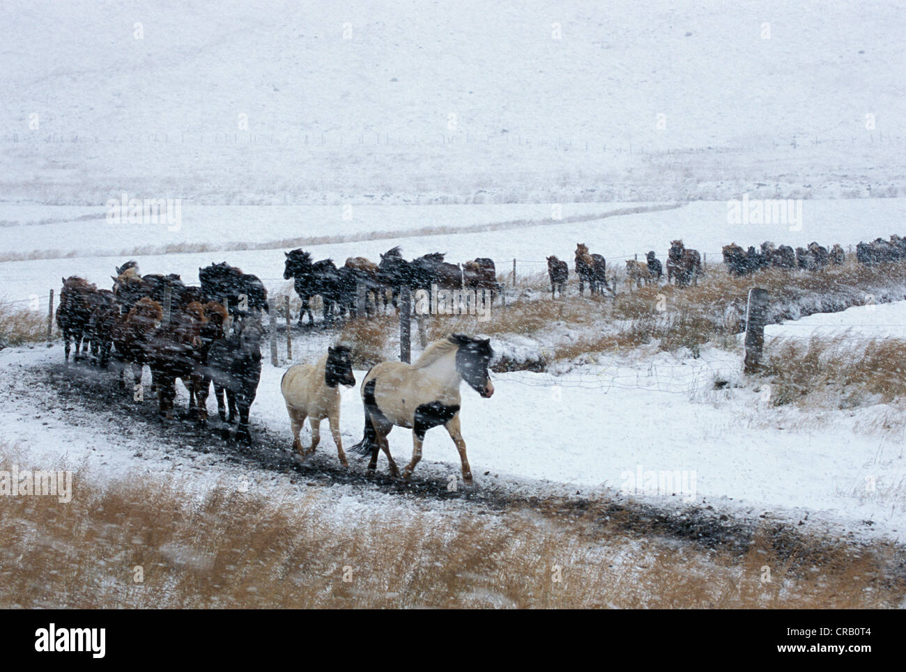 Iceland horses being rounded up in the snow for Laufskalarett, the biggest horse round up in Island, Hjaltadalur - Stock Image