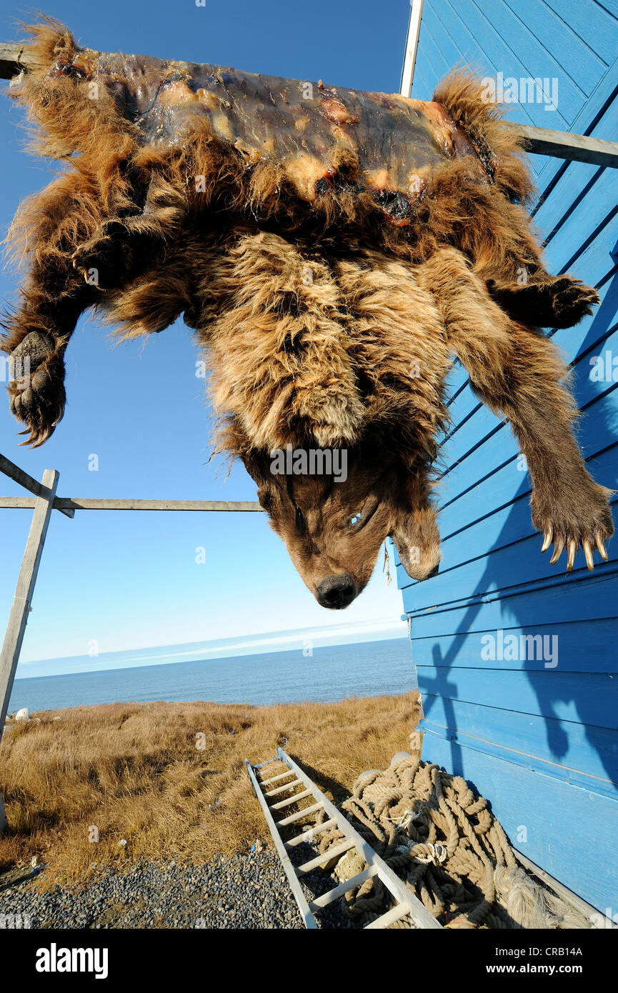 Grizzly bear skin hanging to dry or cure on blue building in Barrow, Alaska, US Stock Photo