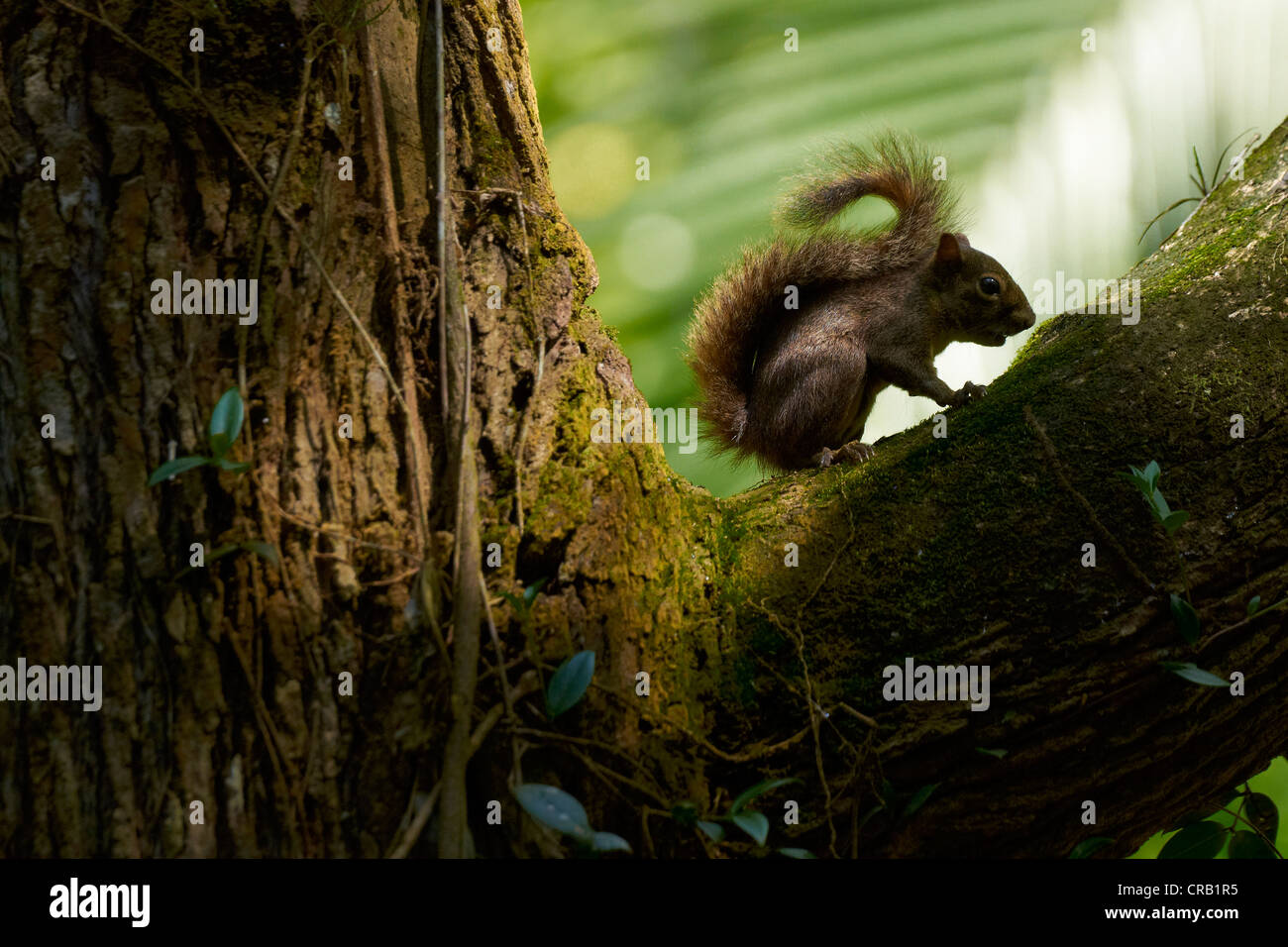 Squirrel in the fork of a tree - Stock Image