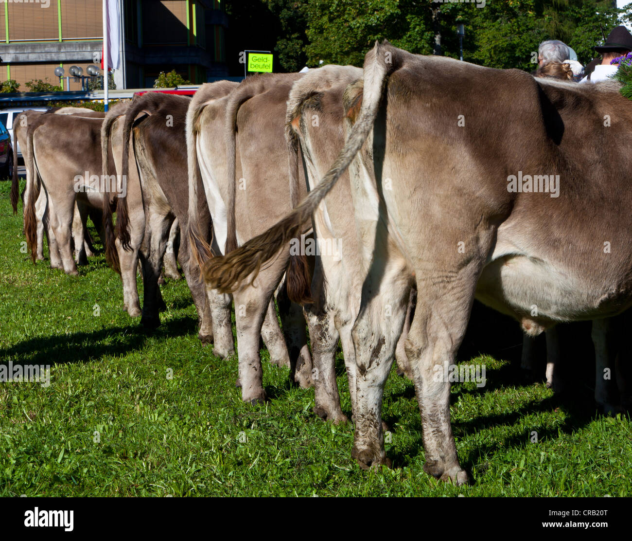 Cows waiting to be inspected and sold, ceremonial driving down of cattle from the mountain pastures, Pfronten - Stock Image