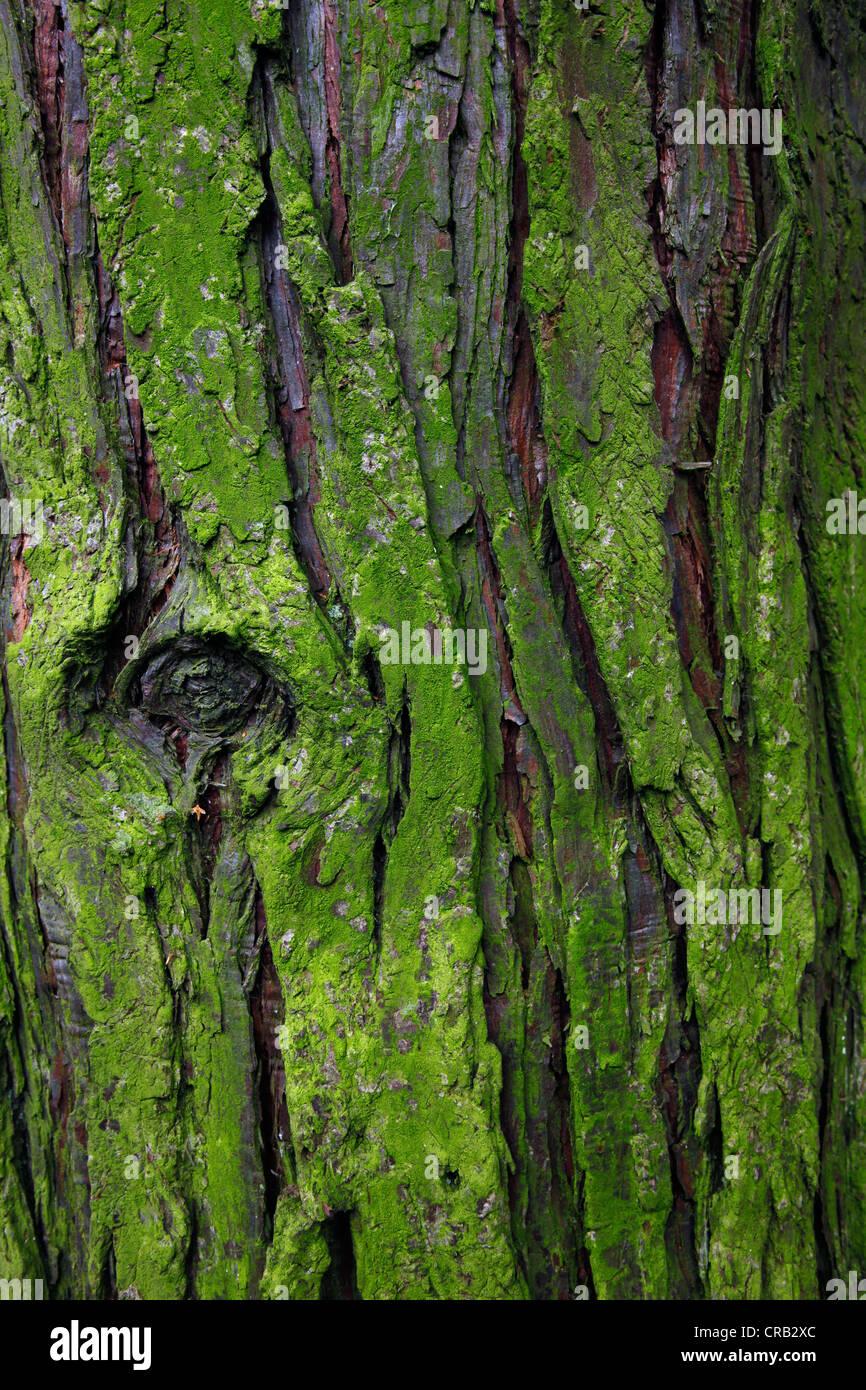 Moss On Tree Bark Stock Photos & Moss On Tree Bark Stock Images - Alamy