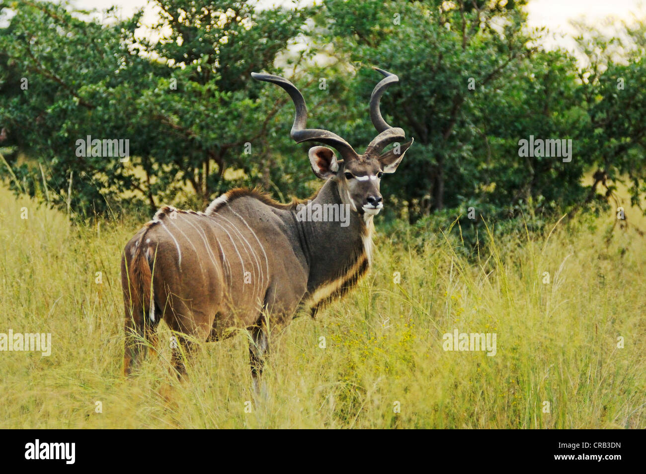 Greater Kudu (Tragelaphus strepsiceros), antelope, in Bwabwata National Park, former Caprivi National Park and Mahango - Stock Image