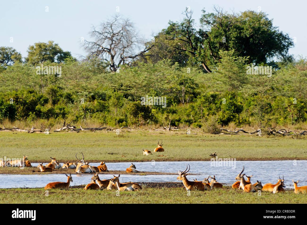 Southern Lechwe (Kobus leche) antelopes, in Bwabwata National Park, former Caprivi National Park and Mahango National - Stock Image
