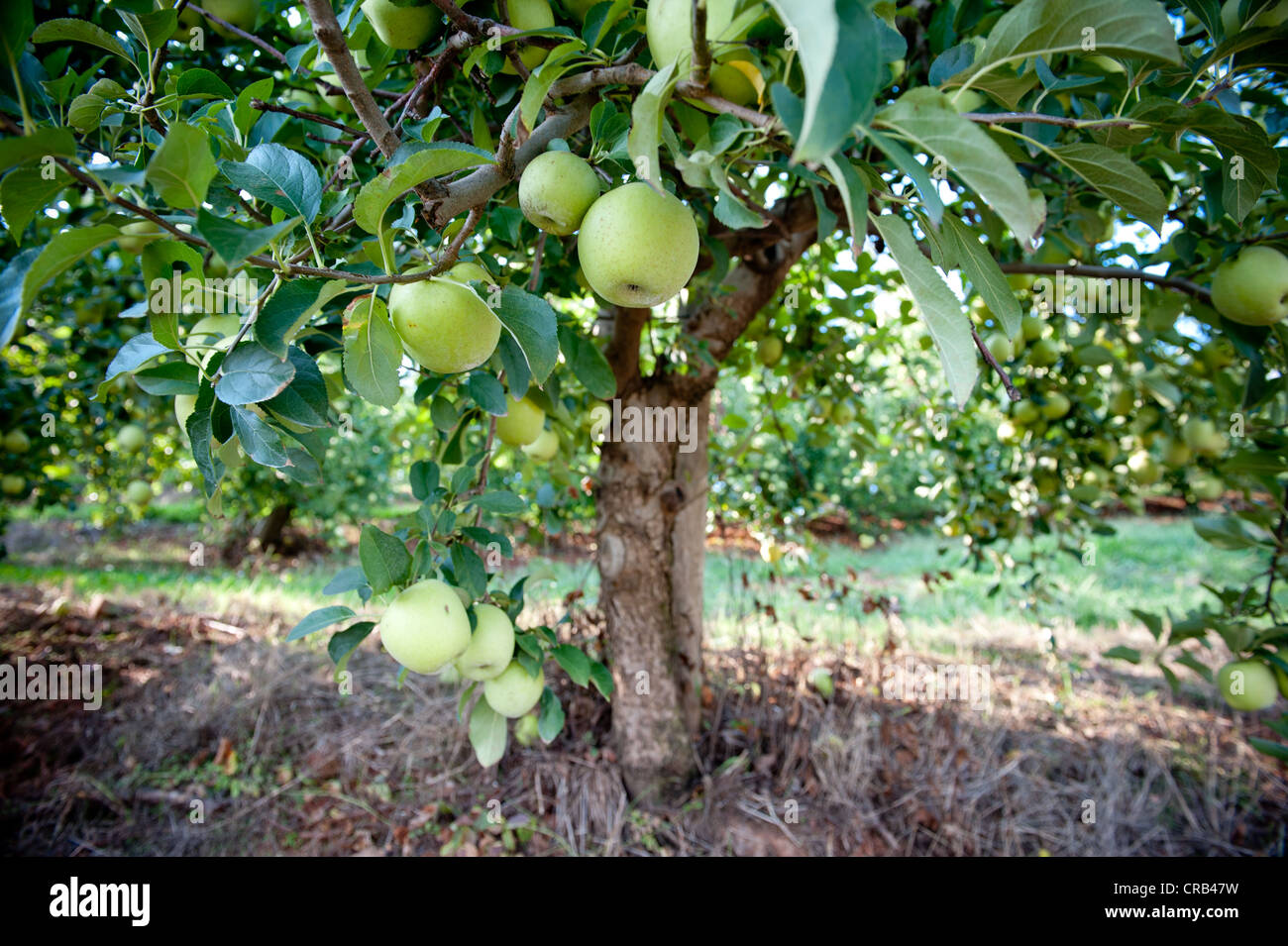 Apples hanging off the branch in an apple orchard - Stock Image