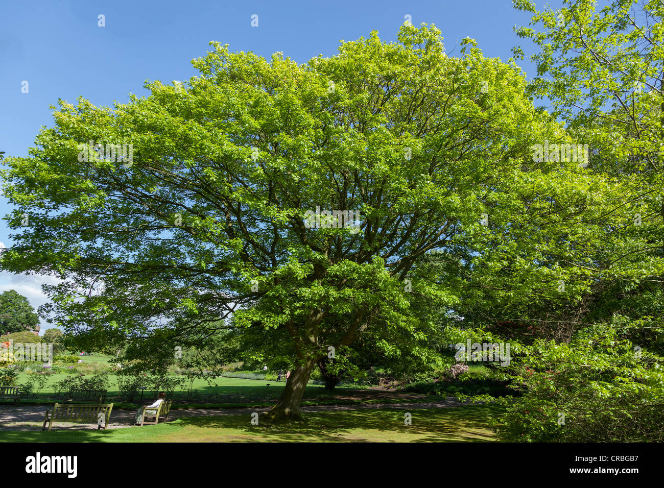 Ness Botanical gardens on the Wirral. The Northern Red Oak. Quercus Rubra. - Stock Image
