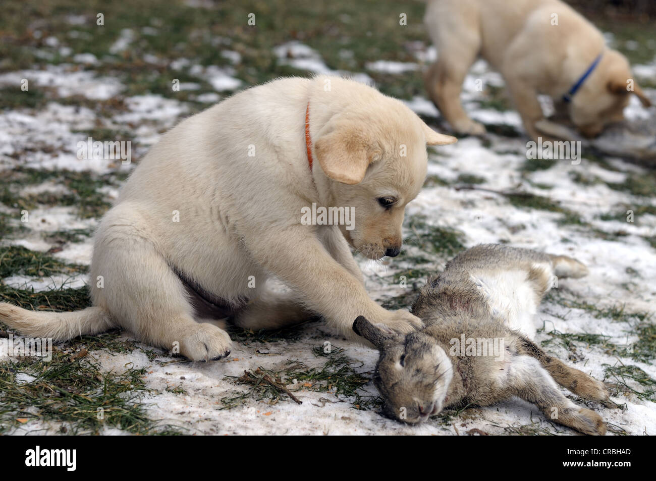 Blonde Labrador Retriever puppy with a rabbit as raw diet - Stock Image
