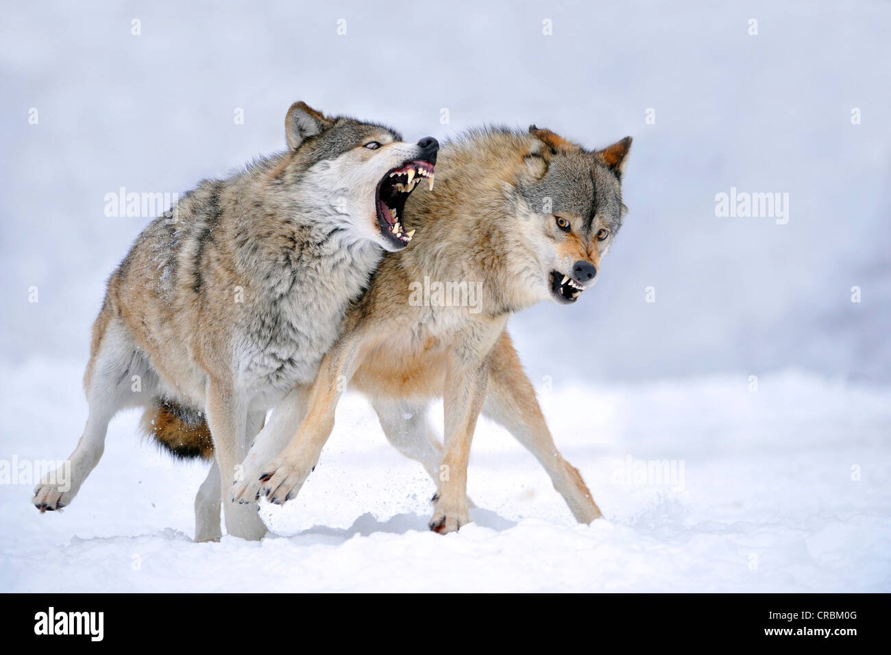Mackenzie-Wolves, Eastern wolf, Canadian wolf (Canis lupus occidentalis) in snow, fight for social ranking Stock Photo
