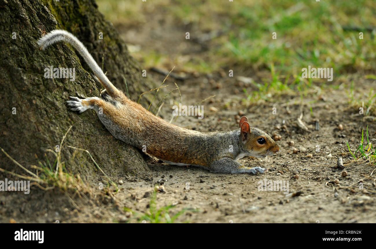 Eastern gray squirrel (Sciurus carolinensis), seeking cooling at hot weather, Washington DC, District of Columbia, - Stock Image