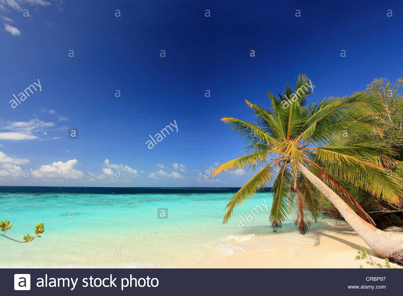 Palm trees growing on tropical beach - Stock Image