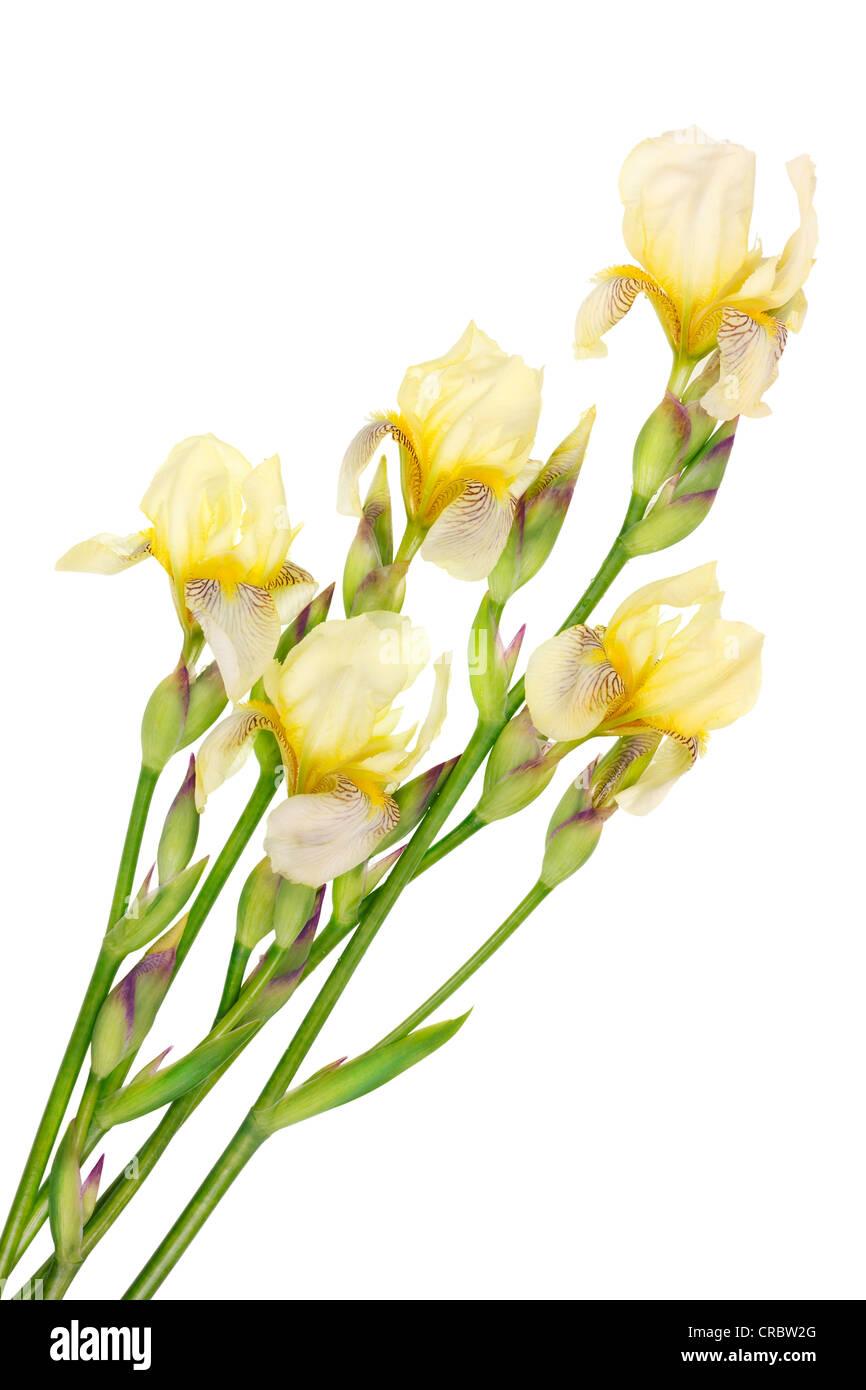Five Fresh Isolated Rare Yellow Iris Flowers Stock Photo 48818968