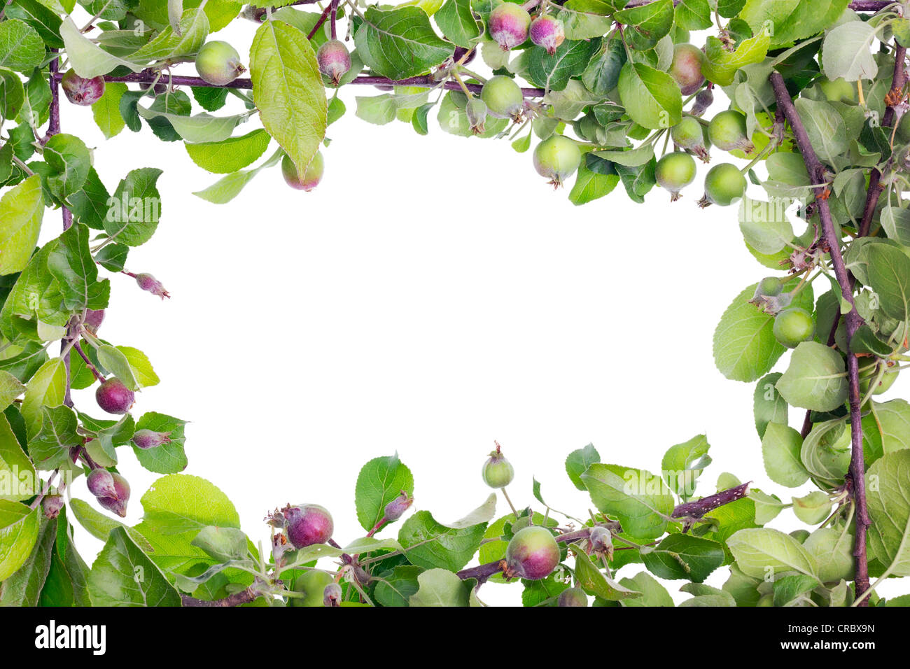 Isolated frame from real apple twigs with leaves and unripe green red fruits. Environmental apples grow without - Stock Image