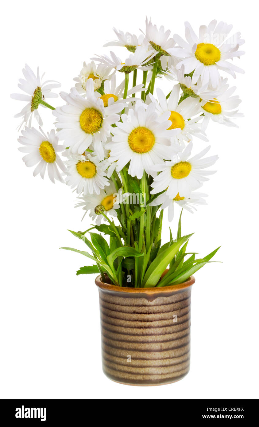 A small bouquet of simple wild field meadow daisies in a ceramic rustic village pot. Isolated, selective focus - Stock Image