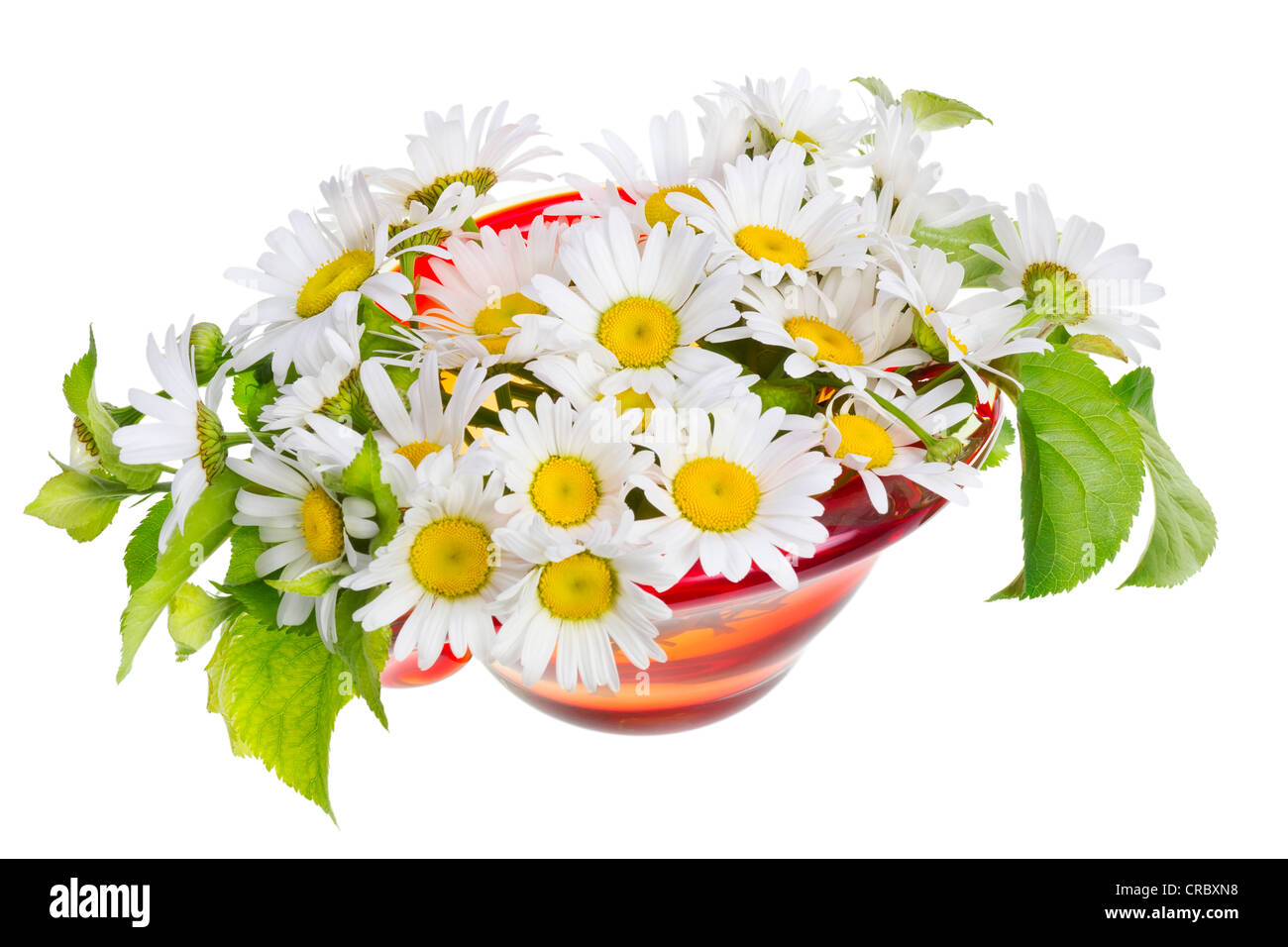 Gentle summer daisies for my beloved mother isolated - Stock Image