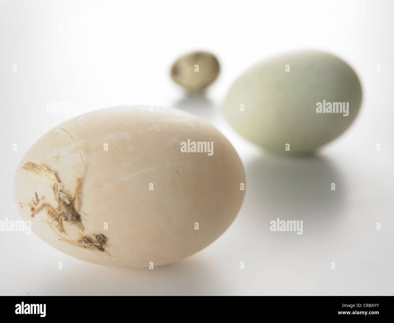 3 eggs on neutral background blue brown speckled - Stock Image