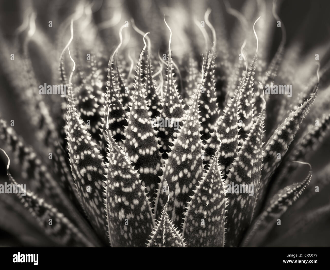 Close up of Zebra/Pearly Dots plant. Oregon Stock Photo