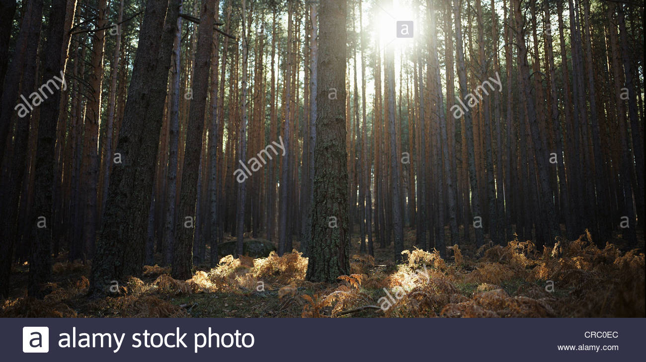 Sun shining through forest trees - Stock Image