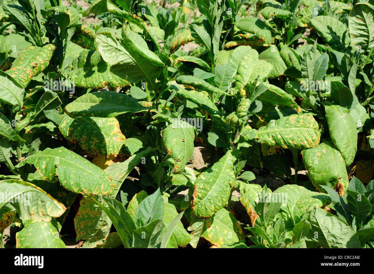 Tobacco leaves, tobacco plants (Nicotiana), tobacco plantation,  province, Cuba, Greater Antilles, Caribbean, Central - Stock Image