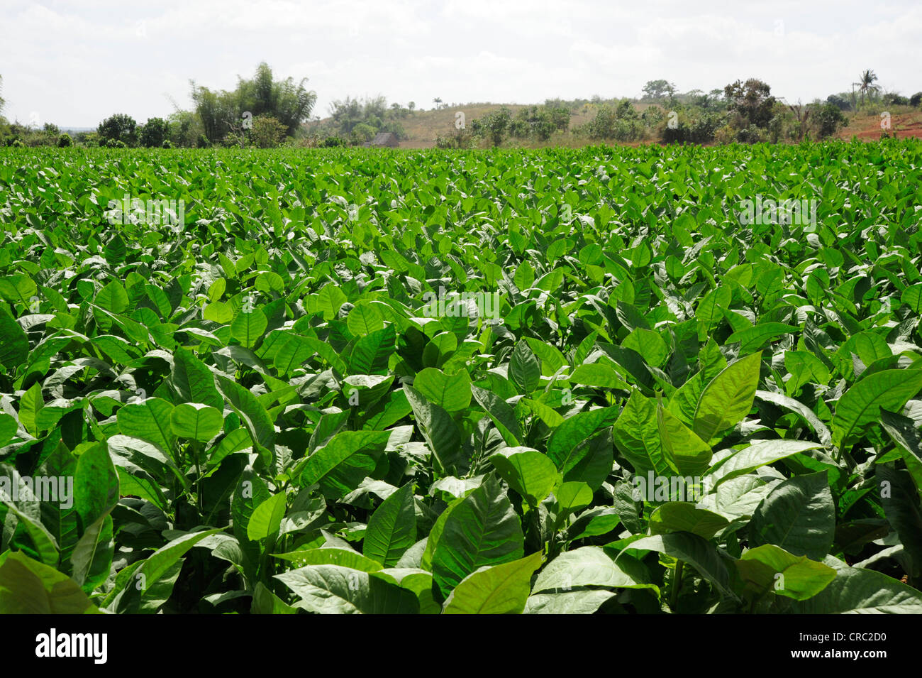 Tobacco leaves, tobacco plant (Nicotiana), tobacco plantation, farming in the Valle de Vinales national park - Stock Image