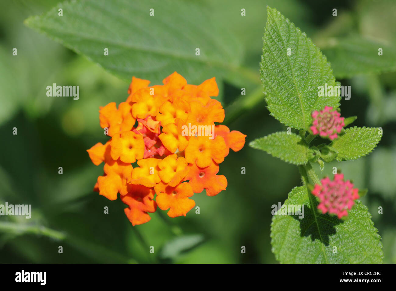 Lantana Camara also known as Spanish Flag or West Indian Lantana - Stock Image