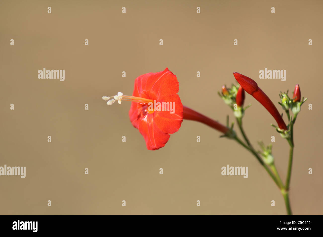Scarlet Morning Glory (Ipomoea hederifolia) flower - Stock Image