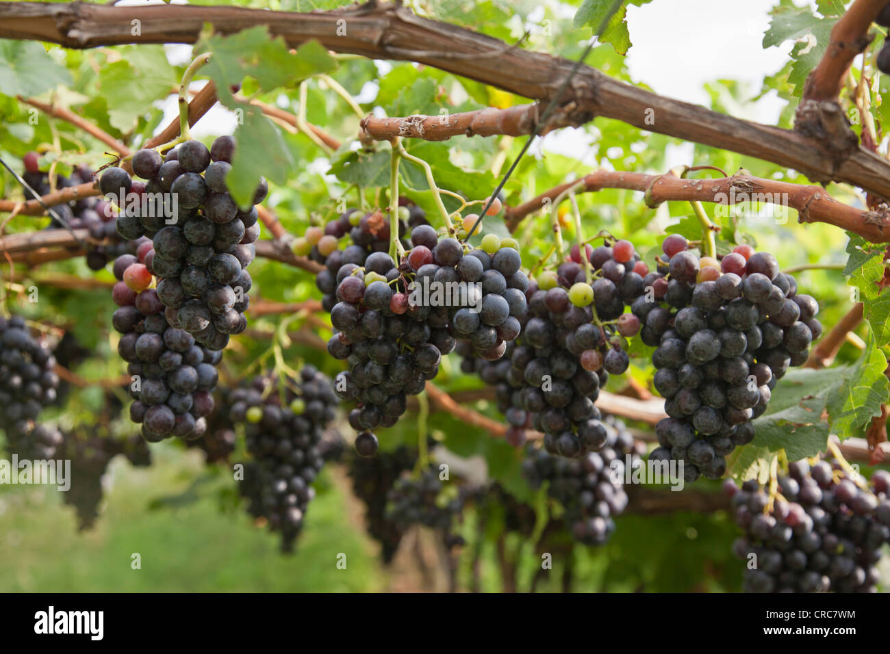 Close up of grapes on vine in vineyard Stock Photo