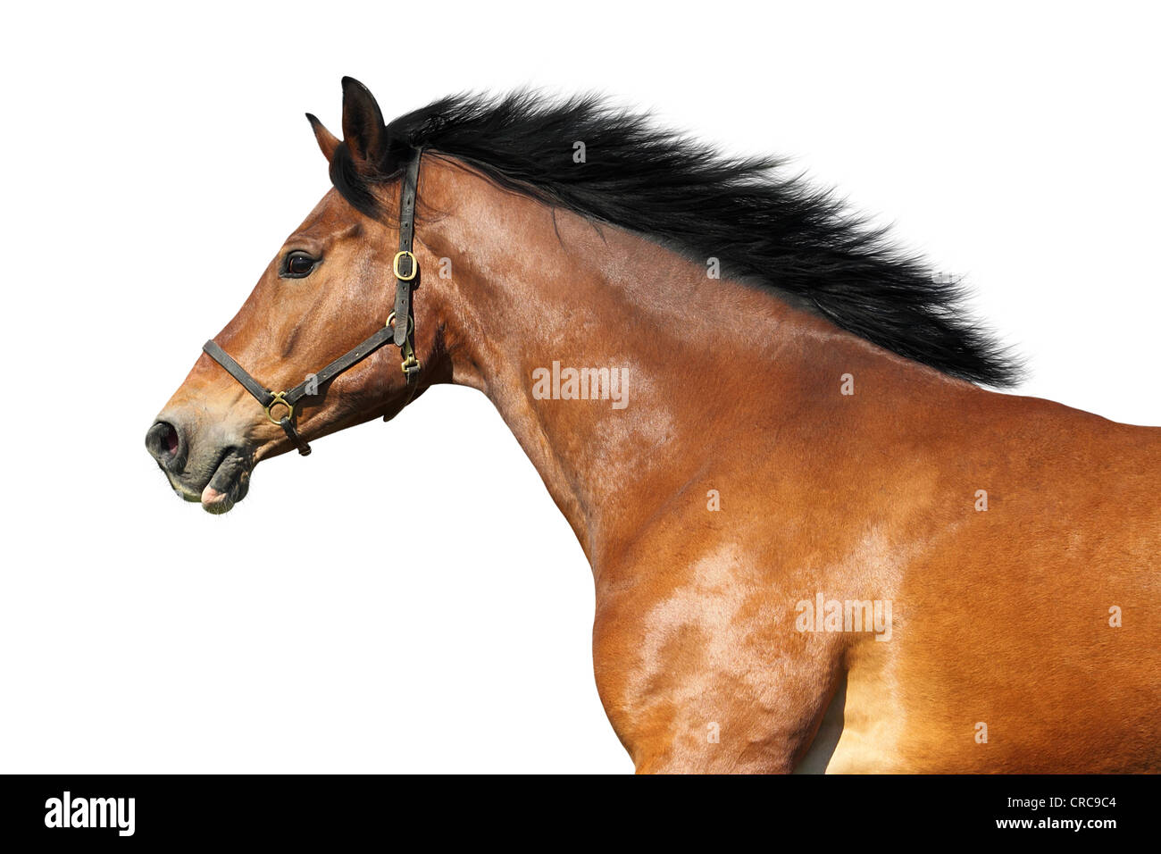 Side view of a bay horse. Isolated over white. - Stock Image