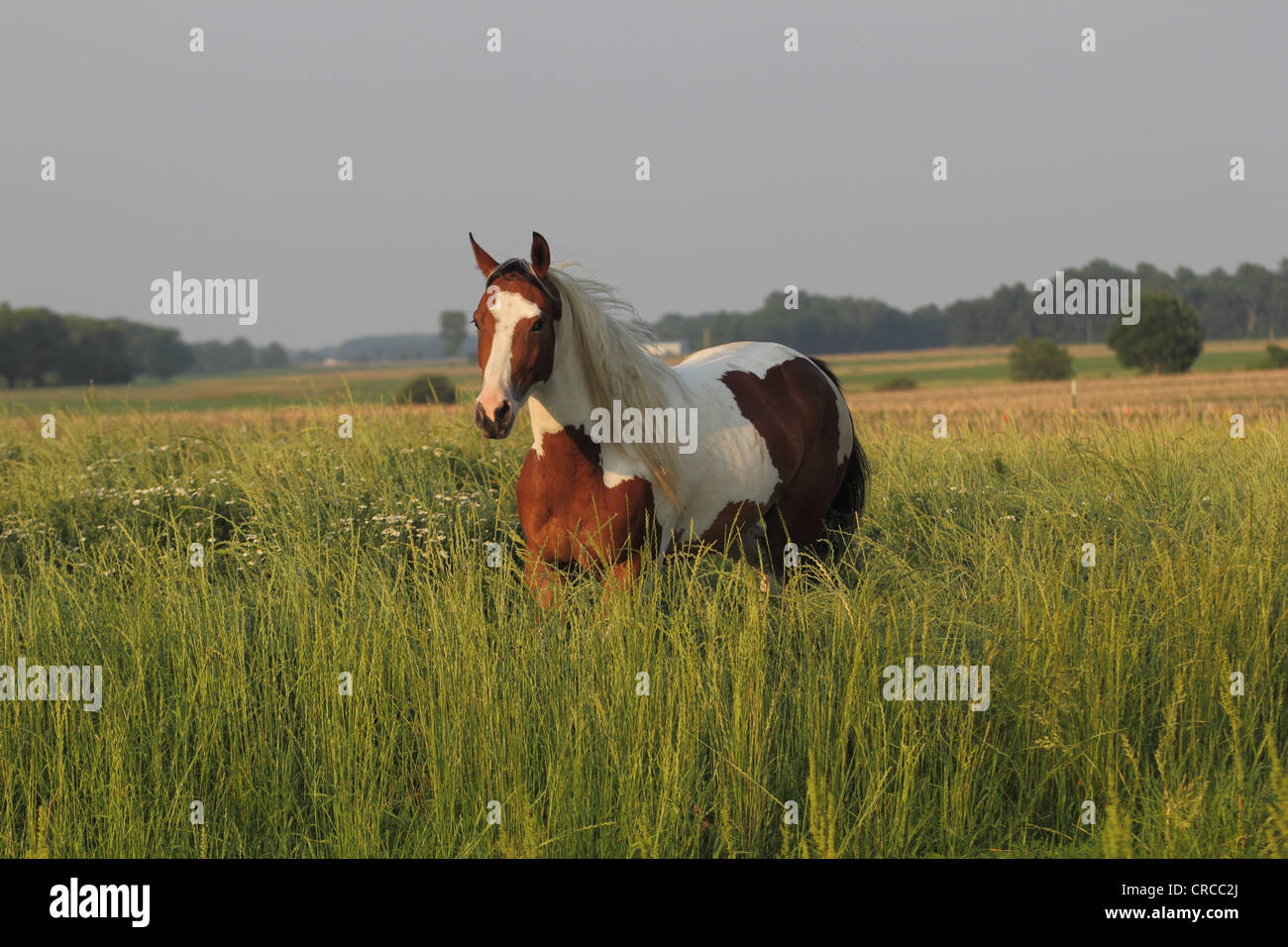 Bay Tobiano Paint horse in a field with long grass - Stock Image